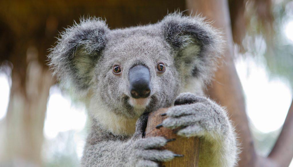 Australien - Think-Australia-Koala-528375169-plavevski-Copy