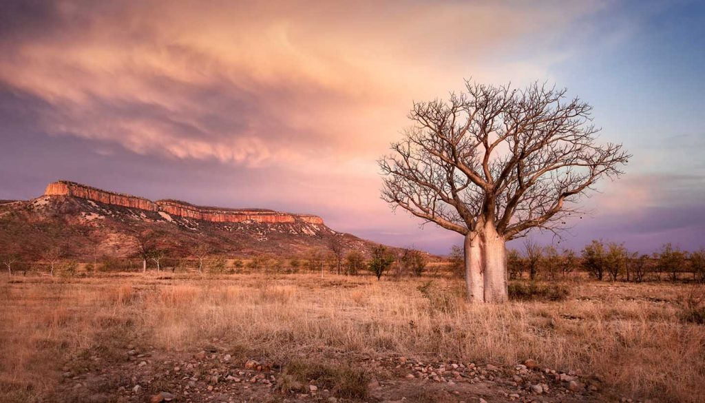 Western Australia - Kimberley Boab