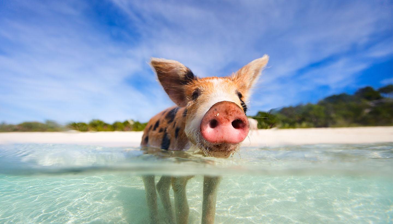 Bahamas - Think-Bahamas-Pig-467436773-shalamov-Copy