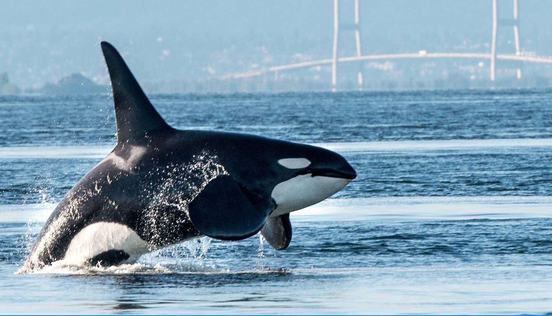 Kanada - Orca breaching in Vancouver Harbor