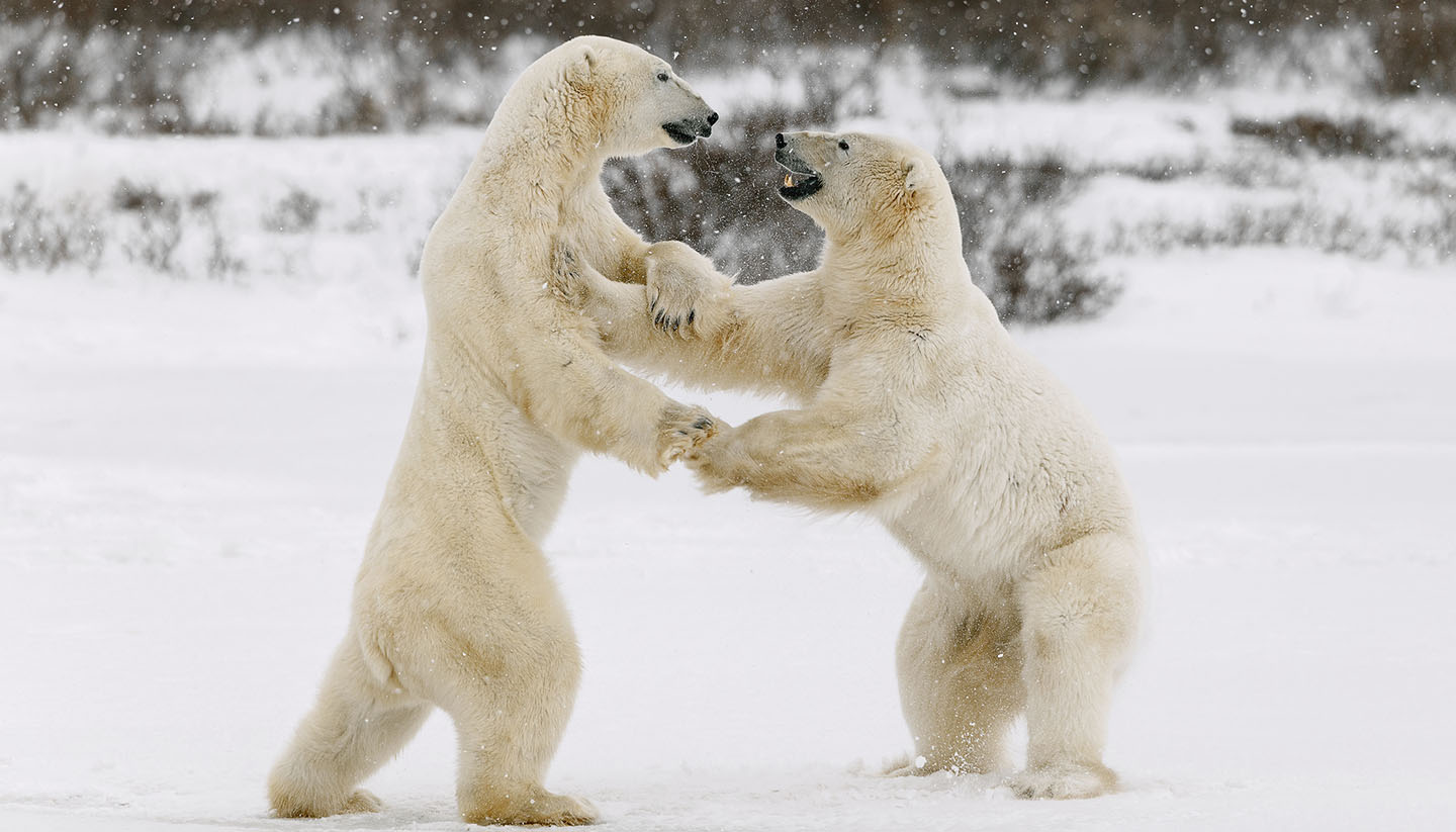 Nunavut - Two polar bears play fighting.