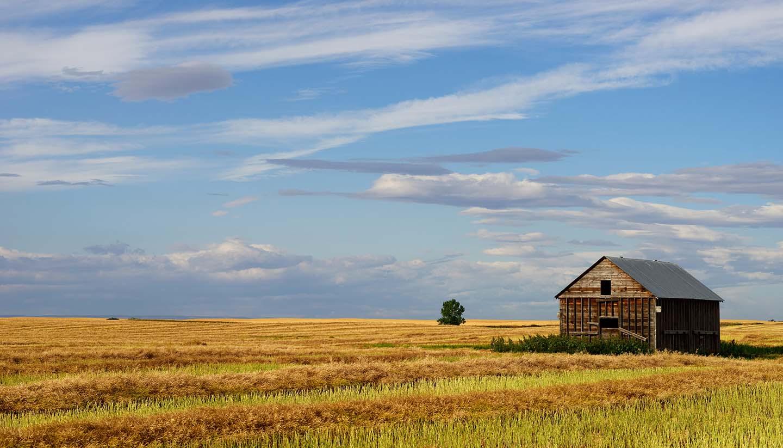 Saskatchewan - Canola Field
