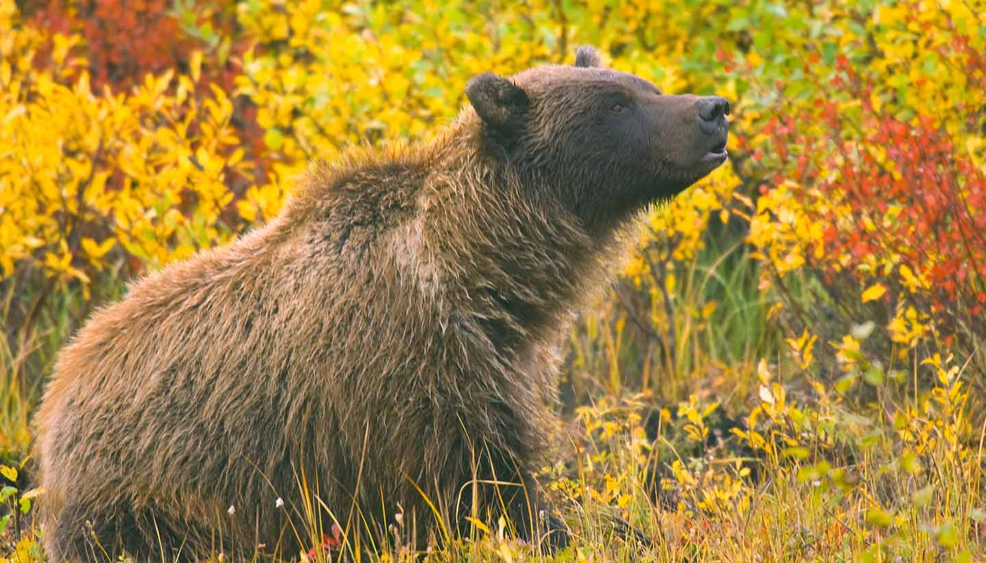 Yukon Territory - grizzly bear sow in yukon territory during autumn