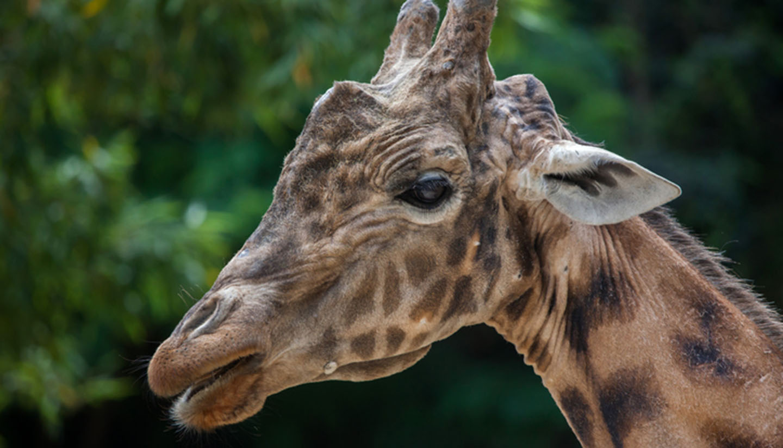 Zentralafrikanische Republik - Kordofan giraffe (Giraffa camelopardalis antiquorum)