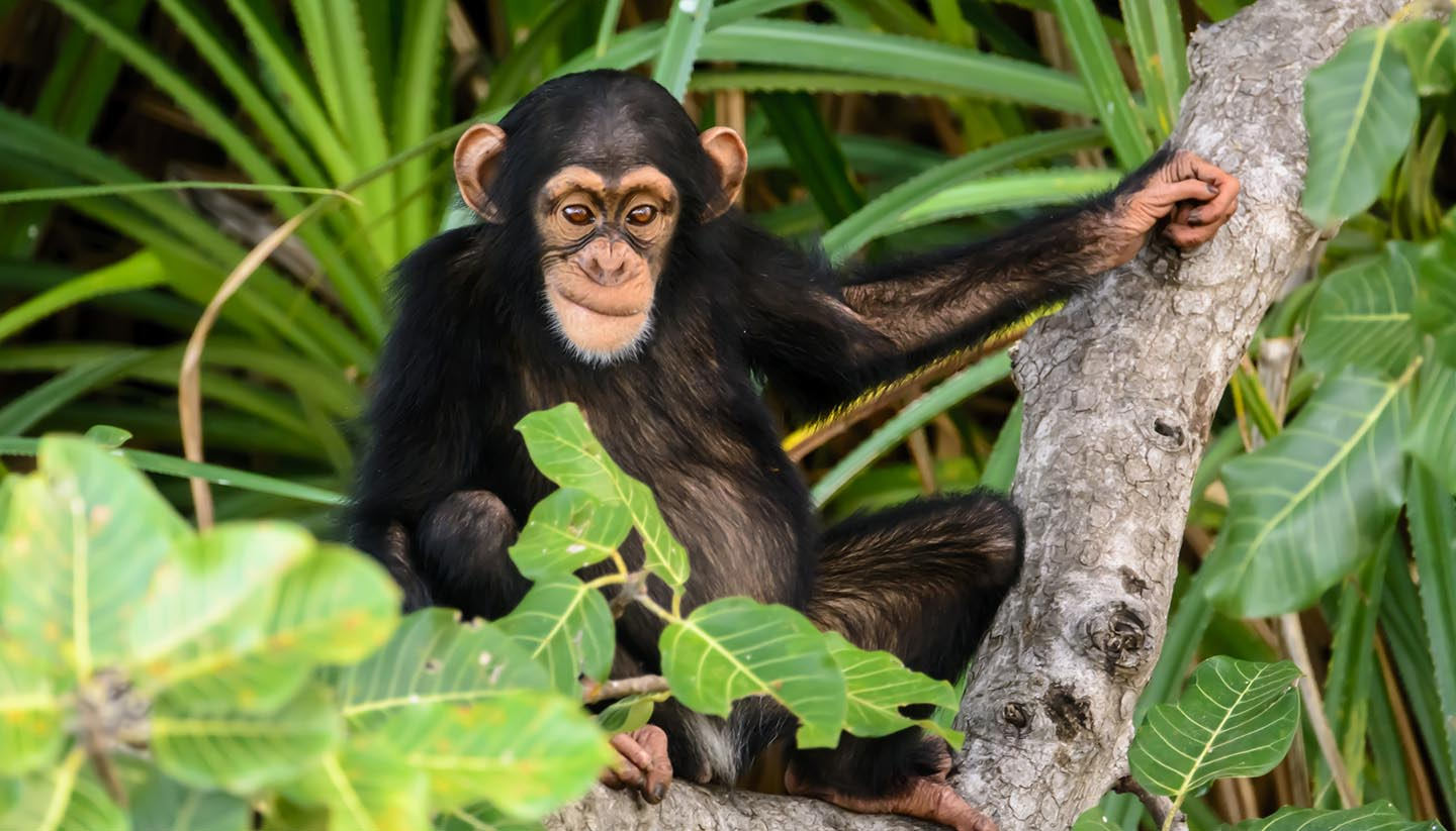 Gambia - mischievous chimp watching