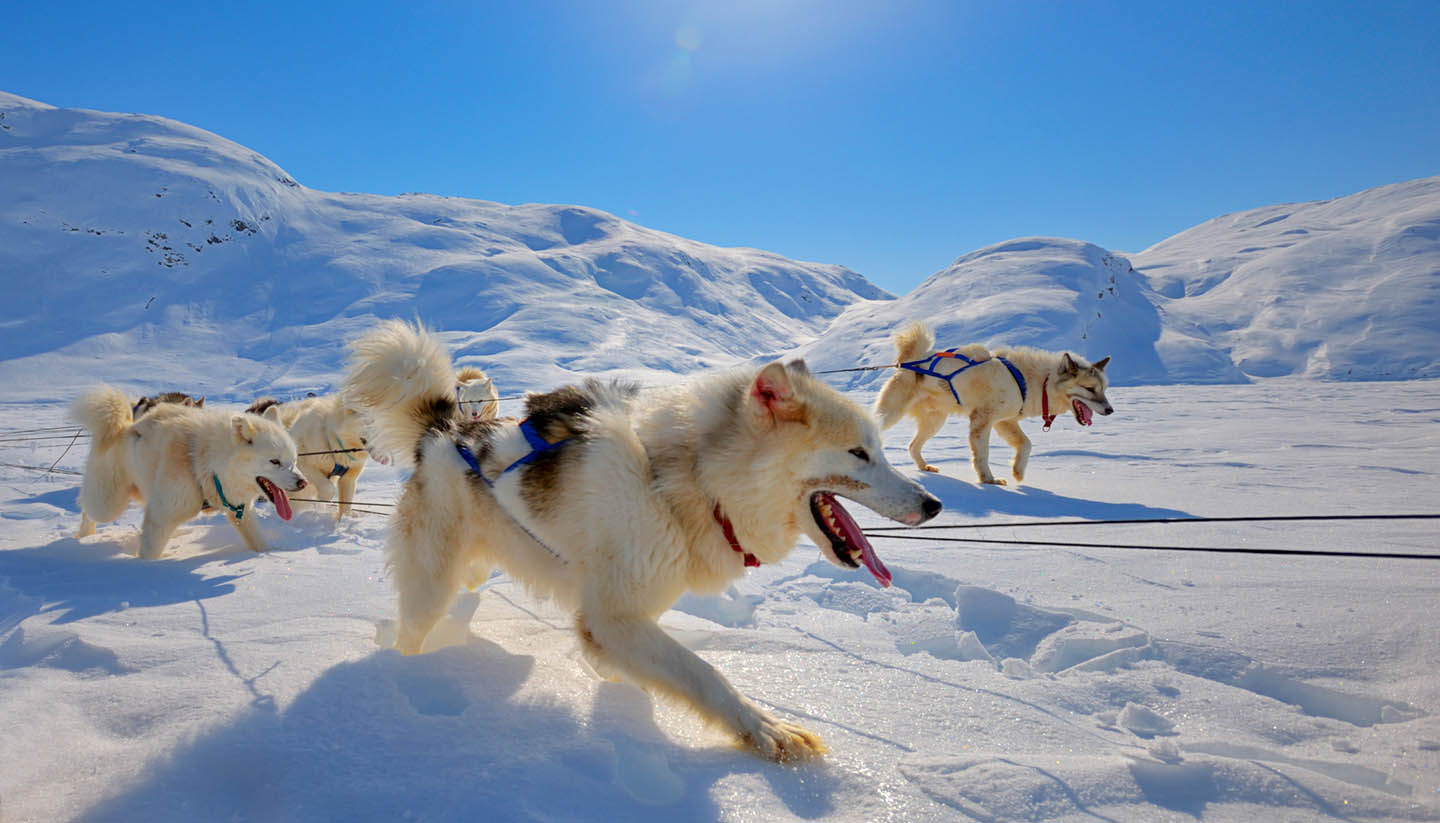 Grönland - Sled dogs  running in Greenland