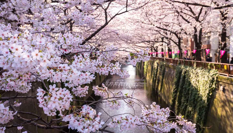 Tokio - Tokyo, Japan at Meguro Canal in the spring season.