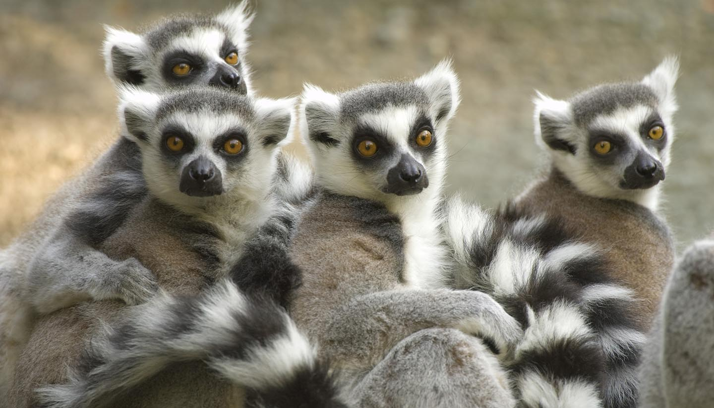 Madagaskar - Ring-tailed Lemurs