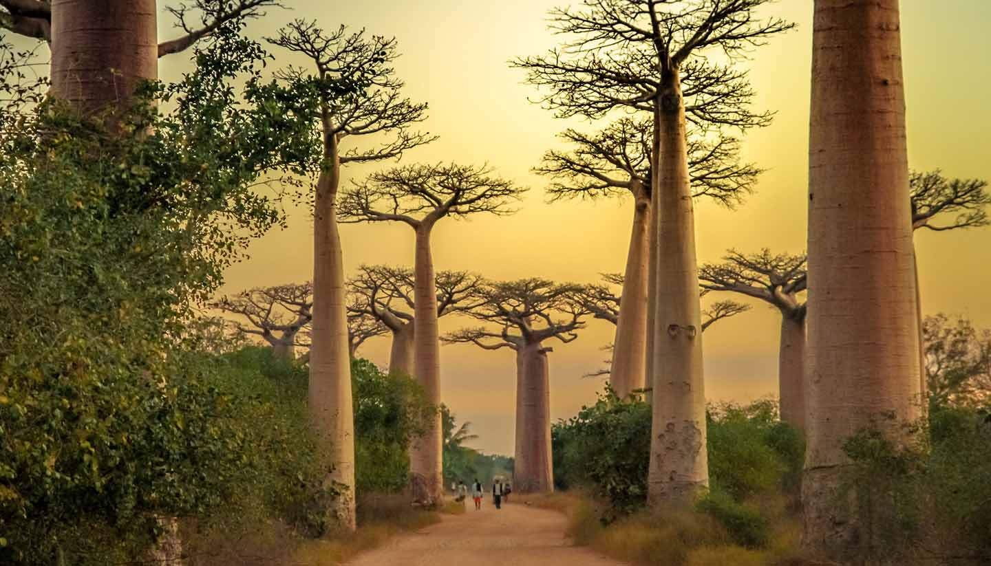 Madagaskar - Avenida de Baobab at sunset