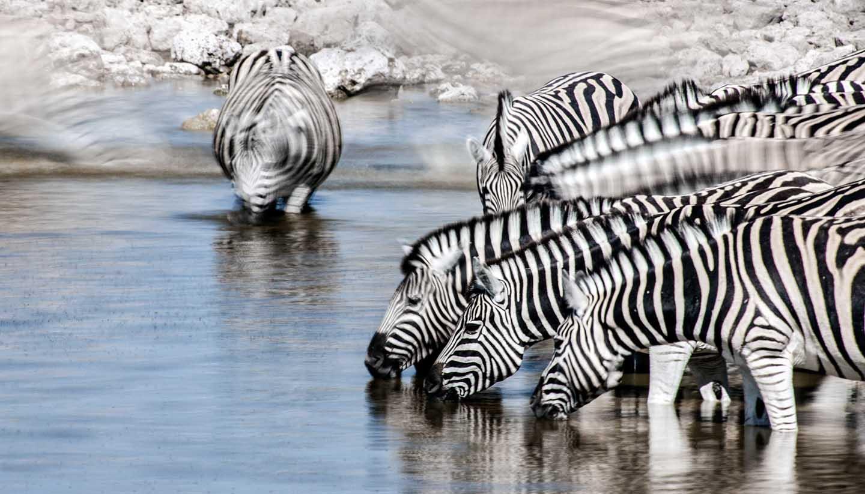 Malawi - Zebra motion