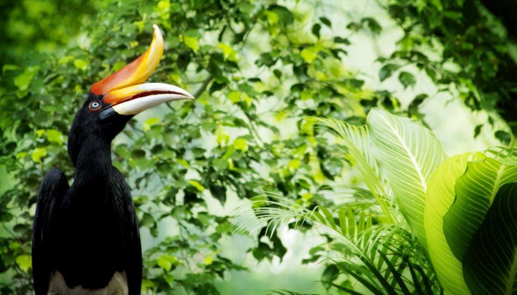 Malaysia - Hornbill