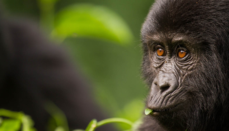 Ruanda - Close-up of a Young Mountain Gorilla