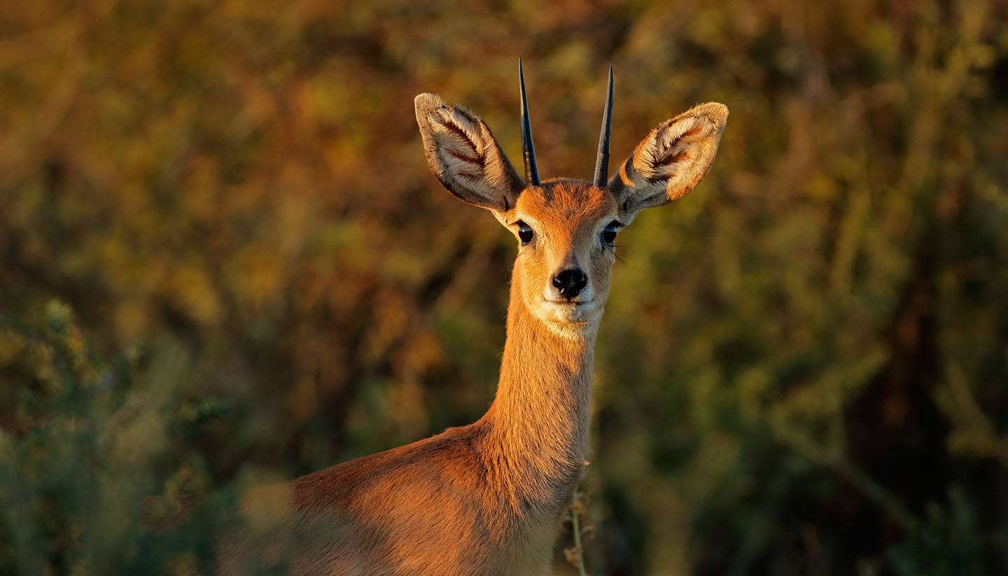 Südafrika - Portrait of a male steenbok antelope, South Africa