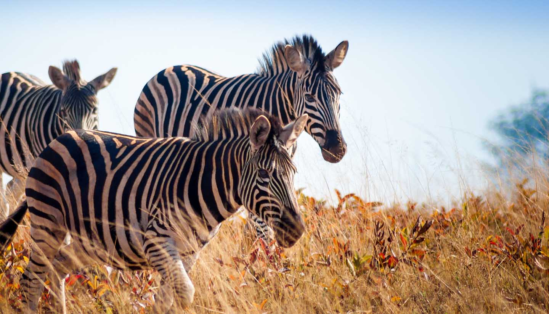 Eswatini - Running zebra