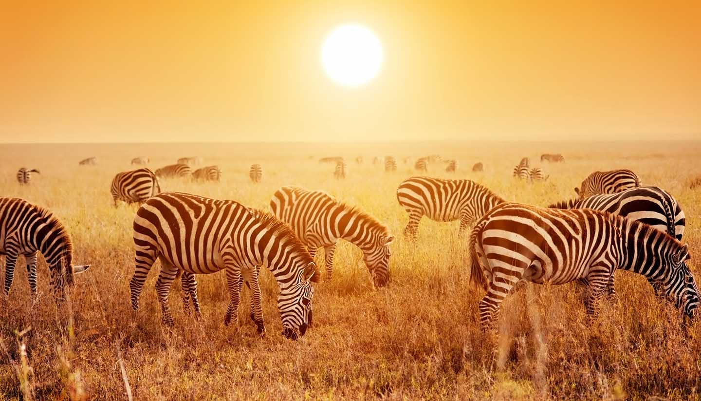 Tansania - Zebras herd on African savanna at sunset.