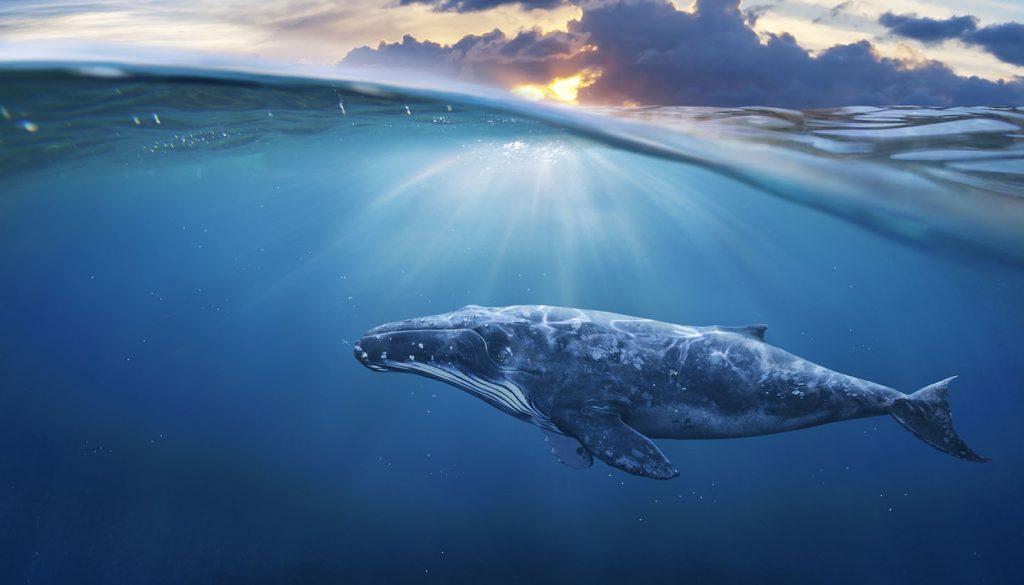 Tonga - whale in half air
