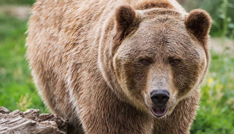 Alaska - close up bear