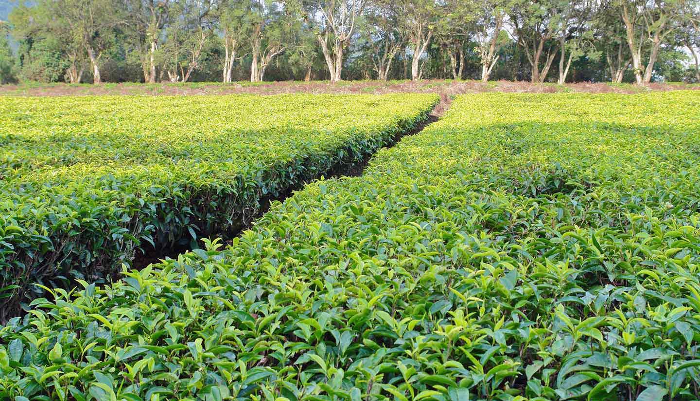 Uganda - Think-Uganda-TeaPlantation-124963595-prill-copy