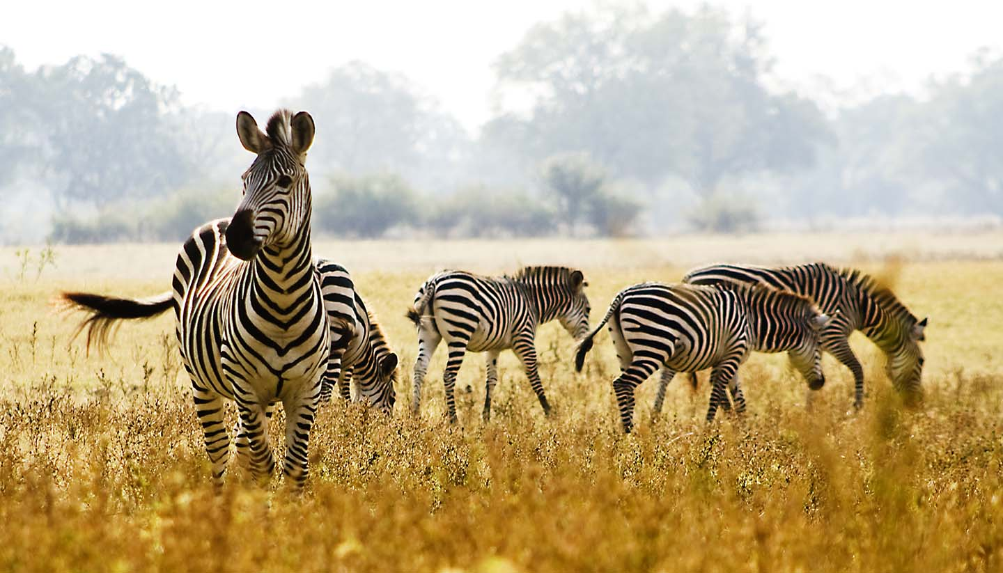 Sambia - Male Zebra Protecting his herd