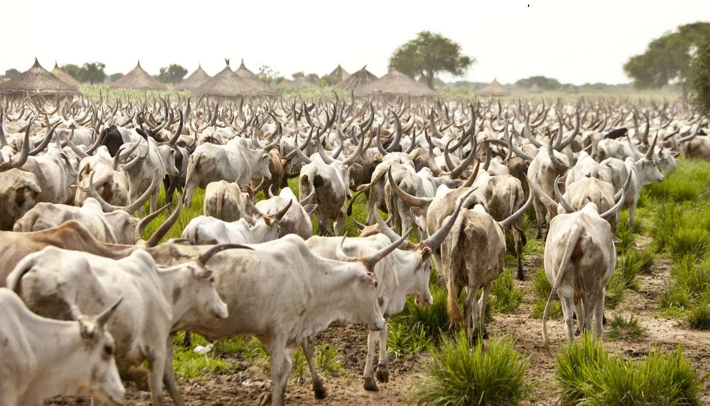 Südsudan - shu-SouthSudan-CattleDrive-109494698-John-Wollwerth-copy