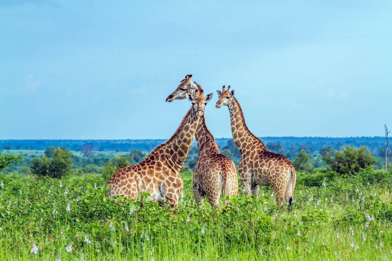 Giraffen im Kruger-Nationalpark in Südafrika